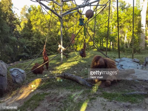 Orangutan at the Zoo on December 13, 2018 in San Diego, California.