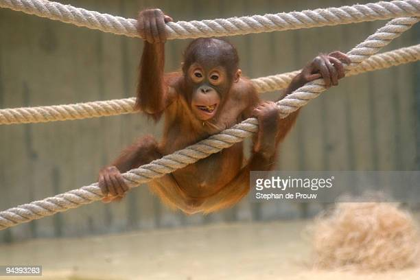 orangutan baby - stephan de prouw stock pictures, royalty-free photos & images