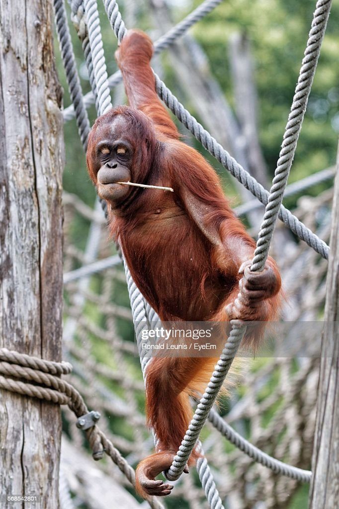 Orangutan Balancing On Rope While Carrying Twig In Mouth : Stock Photo