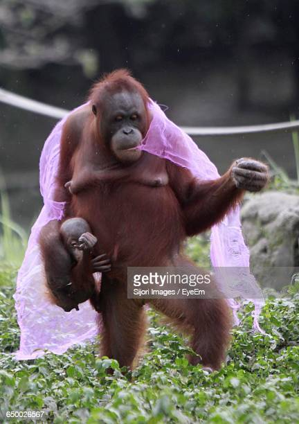 Orangutan Carrying Fabric In Mouth With Infant On Grassy Field