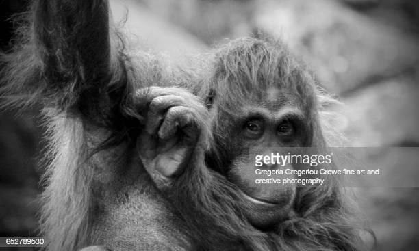 orangutan (pongo pygmaeus), close-up (toned b&w) - gregoria gregoriou crowe fine art and creative photography. - fotografias e filmes do acervo