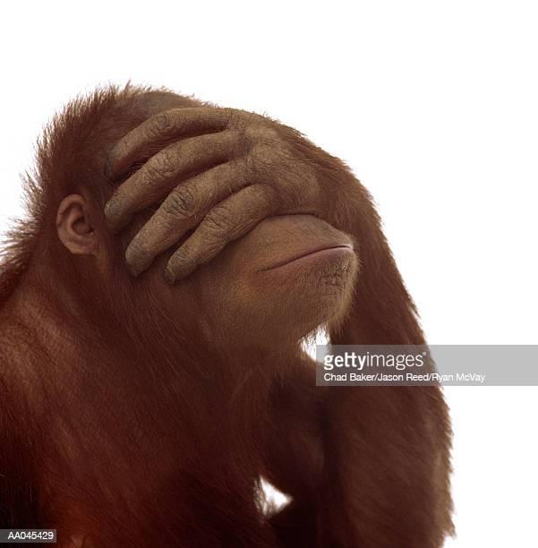 orangutan (pongo pygmaeus) covering eyes with hand - augen zuhalten stock-fotos und bilder
