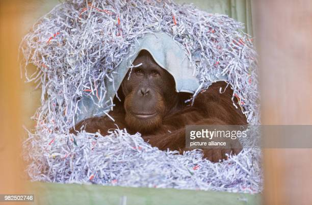 GMT Orangutan Damai from Borneo is 14 years old and hiding in a pile of paper shreds in a zoo in Osnabrueck Germany 1 February 2018 The animal was...
