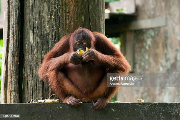 Orangutan (Pongo pygmaeus) eating banana at Sepilok Orangutan Rehabilitation Centre.