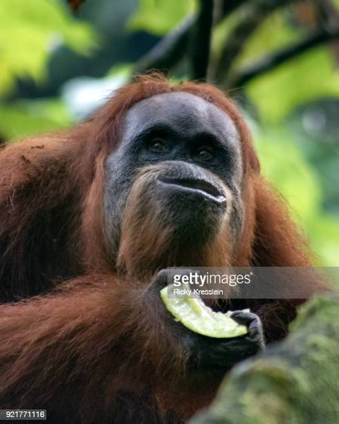 Orangutan Eating Melon