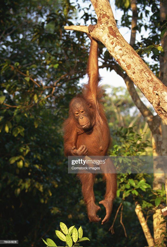 Orangutan hanging from tree in Borneo : Stockfoto