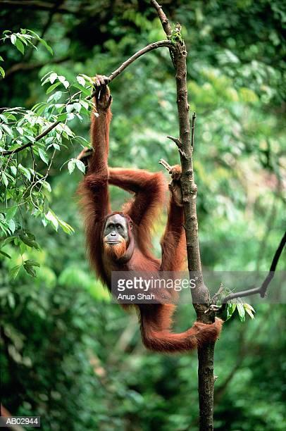 orangutan (pongo pygmaeus) hanging from tree - orangutan stock pictures, royalty-free photos & images