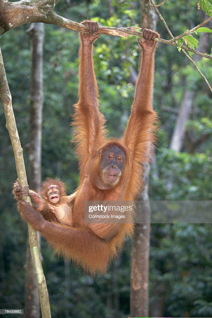 Orangutan hanging from tree with eyes closed : Stockfoto