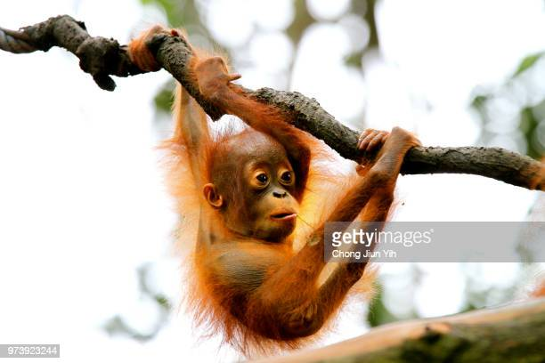 orangutan (pongo) hanging on branch, singapore - monkey stock pictures, royalty-free photos & images