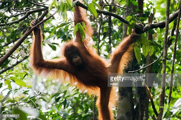 Orang-Utan auf Borneo, Malaysia