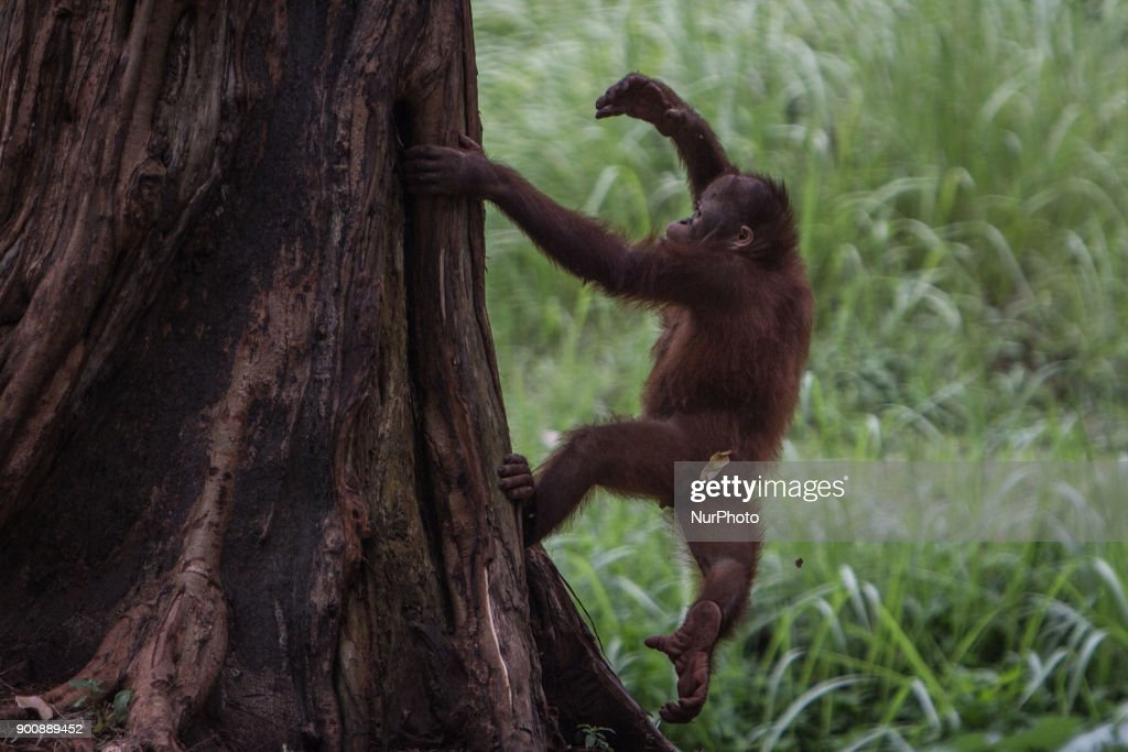 A orangutan in Jakarta, Indonesia on January 03, 2018. The Sumatran Orangutan Conservation Programme (SOCP) is working hard to build an Orangutan Haven in North Sumatra to accommodate disabled orangutans and orangutans that cannot be released to their natural habitat. Beginning construction four years ago with a US$2 million budget, the 48-hectare facility in Sibolangit, Deli Serdang regency, is expected to be ready by early 2019 to give long-term protection and provide improved living conditions for the disabled and unreleasable arboreal mammals. Five orangutans, including a female, will be placed in the facility by the end of 2018,, which will be open for public visits. The ve could not be released to their natural habitat as they no longer have the ability to survive in the wild, posing a risk to themselves as well as other populations. Nine artificial islands measuring between 600 and 800 square meters are being prepared by the SOCP in the Orangutan Haven, which is the first such facility in the world.