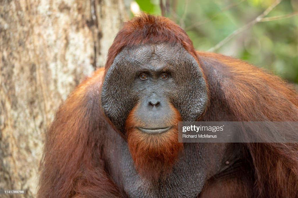 Orangutan in Tanjung Puting National Park : Stock Photo