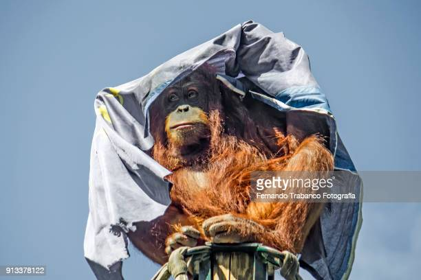 Orangutan is covered with a blanket for protection from the sun