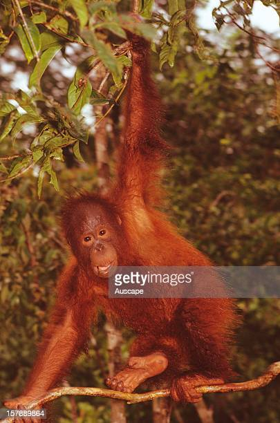 Orangutan juvenile scrambling through tropical rainforest exhibiting the long reach and gripping hands and feet that allow these large animals to...