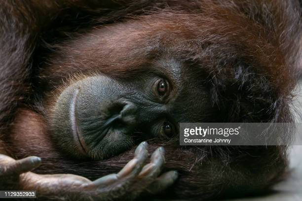 orangutan lies on her side and looking at camera - endangered species stock pictures, royalty-free photos & images