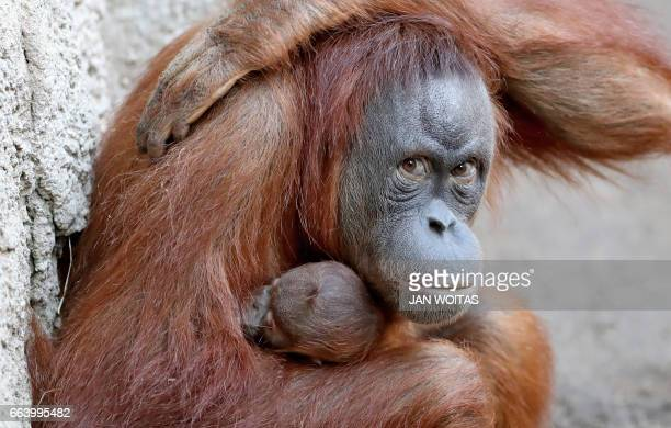 Orang-utan mother Raja holds her baby on April 3, 2017 at the zoo in Leipzig, eastern Germany. The baby was born at the zoo on March 25, 2017. / AFP...
