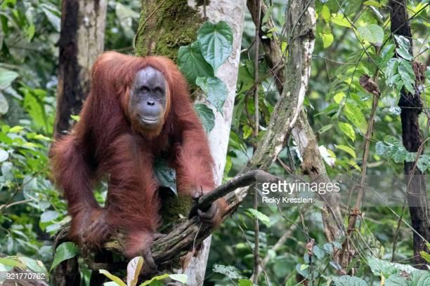 Orangutan On All Fours