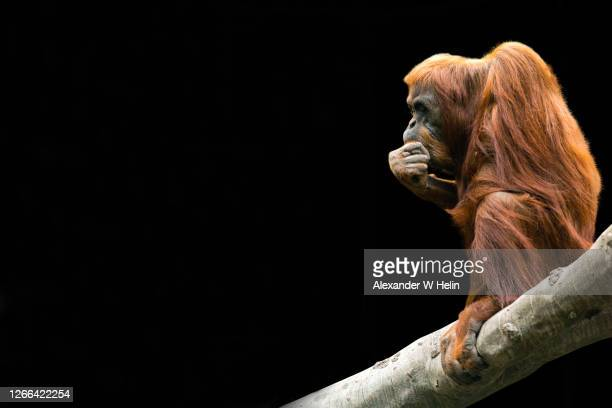 orangutan on the branch - threatened species stock pictures, royalty-free photos & images