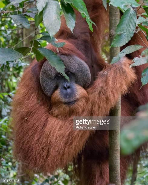Orangutan Peek-A-Boo