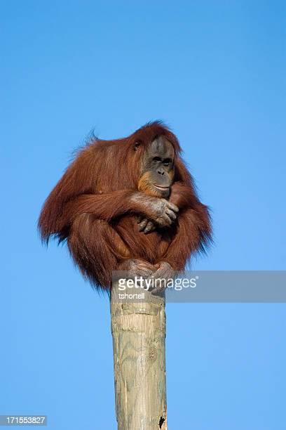 orangutan perched on a pole - orangutan stock pictures, royalty-free photos & images