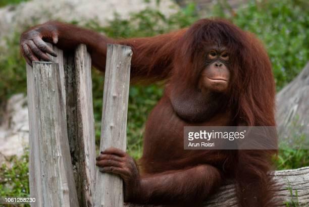 orangutan (pongo abelii) - orang outan photos et images de collection
