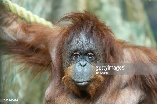 orangutan - ian gwinn stock photos and pictures
