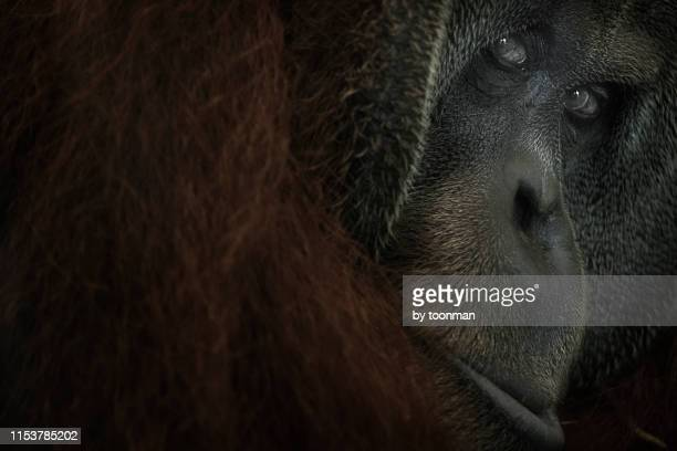 orangutan - orang outan photos et images de collection