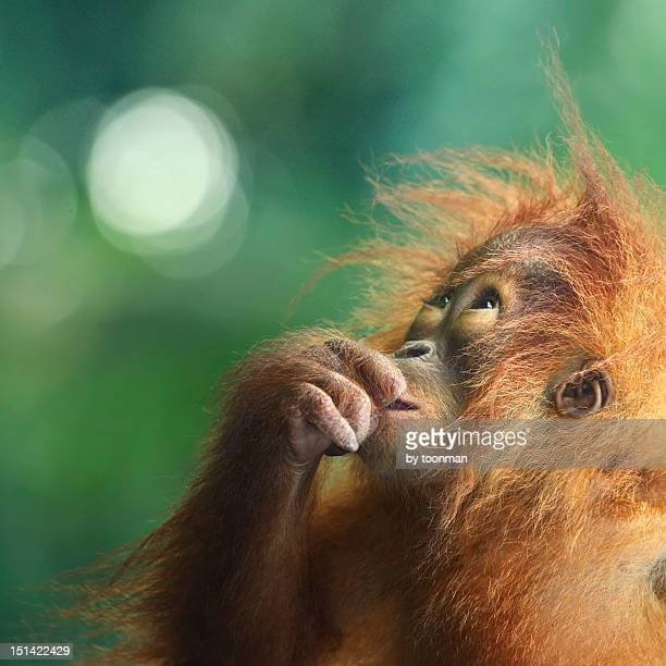 orangutan - orangutan stock pictures, royalty-free photos & images