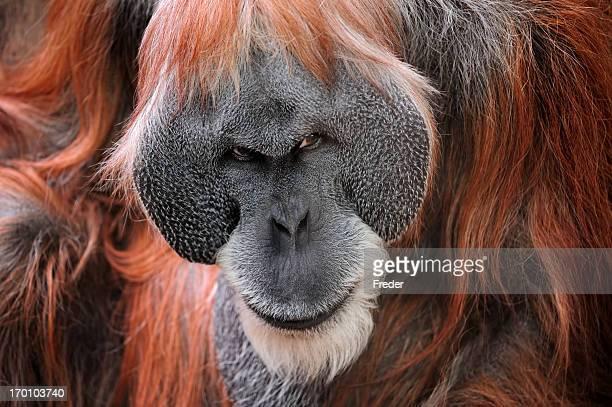 orangutan - monkey stock pictures, royalty-free photos & images
