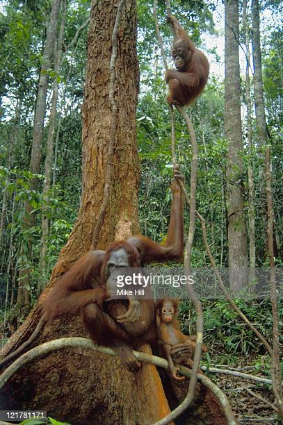 orangutan, pongo pygmaeus, with young in tree, kalimantan, indonesia - small group of animals stock pictures, royalty-free photos & images