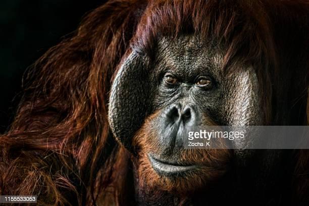 orangutan portrait - orangutan stock pictures, royalty-free photos & images