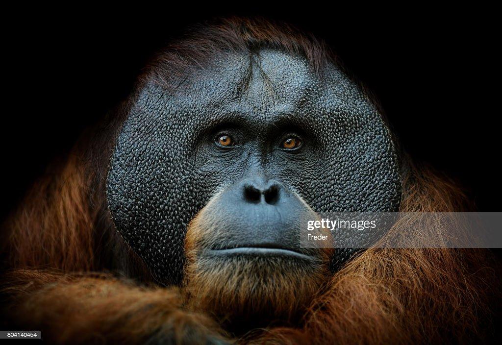 orangutan portrait : Stock Photo