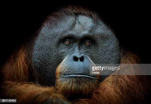 orangutan portrait - animal eye stock pictures, royalty-free photos & images
