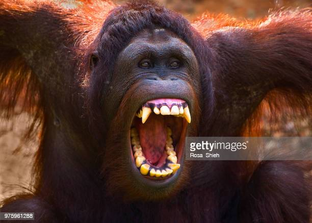 orangutan roaring - primate stock pictures, royalty-free photos & images