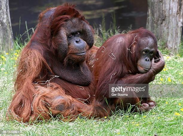 Orangutan romance