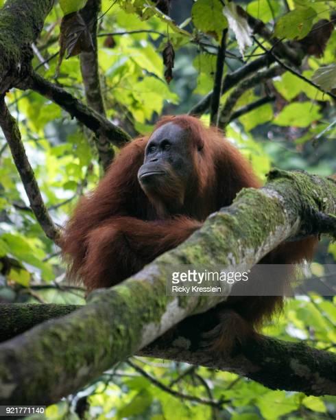 Orangutan Sitting In A Tree