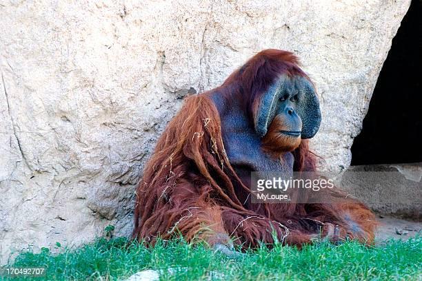 Orangutan Sitting On Grass Near Cave Very Old With Stringy Hair