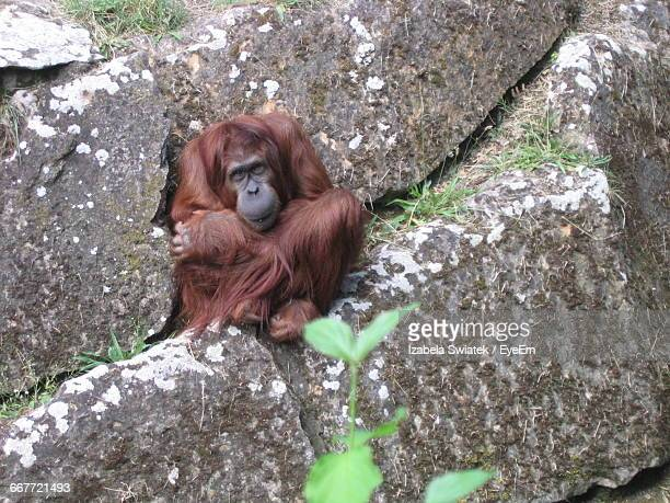 orangutan sitting on rock - swiatek stock pictures, royalty-free photos & images