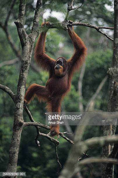 orang-utan (pongo pygmaeus) standing on tree, gunung leuser national park, indonesia - orang outan photos et images de collection