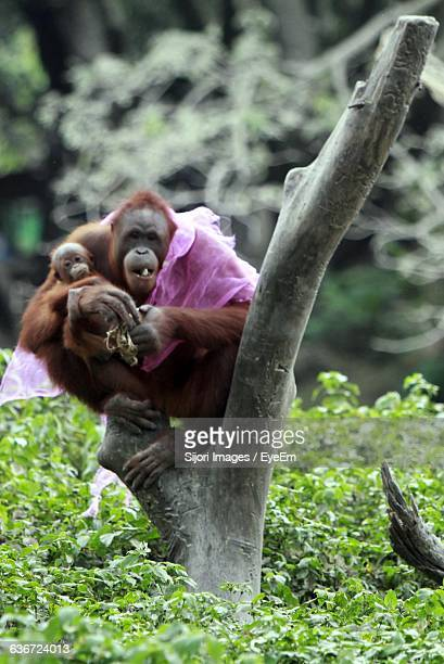 orangutan with infant sitting on tree stump in forest - surakarta stock photos and pictures