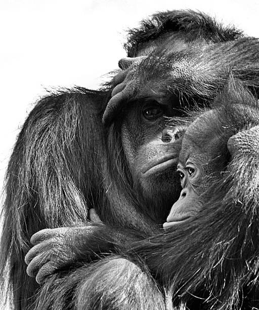 Orangutan with juvenile
