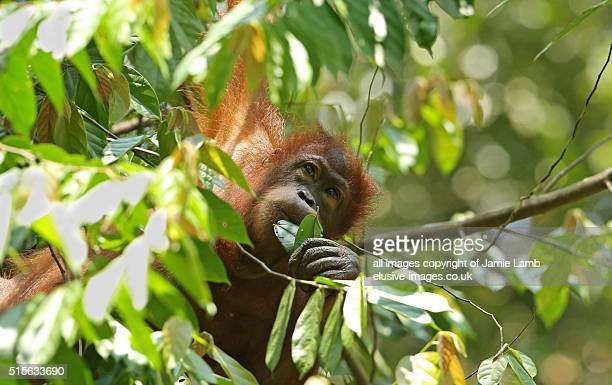 Orangutang among trees in Borneo