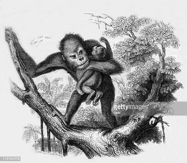 Orangutang of the 'jardin des plantes' in Paris engraving by Leloir from book 'Le Jardin des plantes' by Pierre Boitard 1845