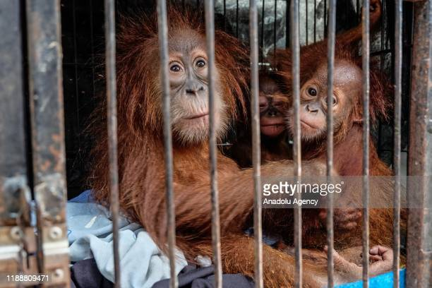 Orangutans are seen after they were saved from illegal wildlife trafficking by Riau Police authority in Pekanbaru Riau Indonesia on December 15 2019