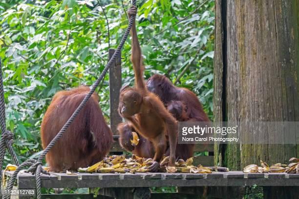 orangutans at sepilok sandakan sabah - nature reserve stock pictures, royalty-free photos & images