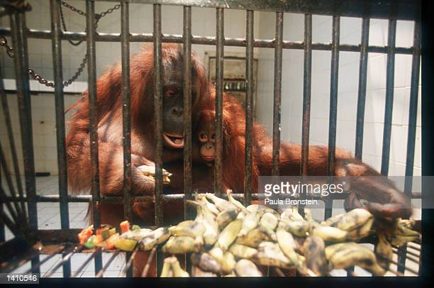 Orangutans eat fruit March 15 1998 in East Kalimantan Indonesia Forest fires raging in the East Kalimantan region of Borneo have resulted in...