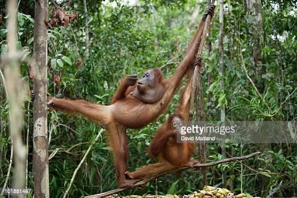 Orangutans (Pongo pygmaeus pygmaeus) feeding