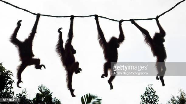 Orangutans having fun