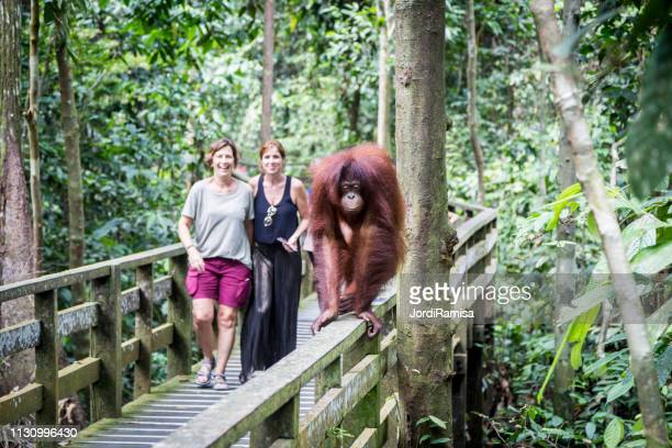 orangutans in borneo - sabah state stock pictures, royalty-free photos & images