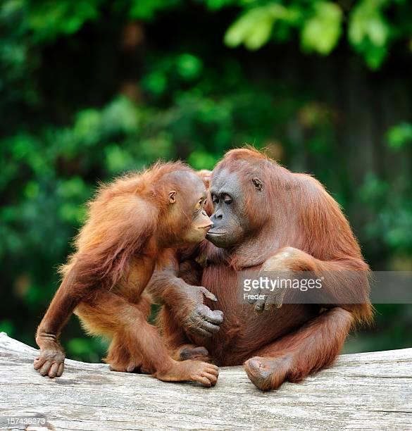 orangutans in love